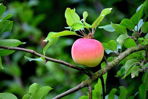Apple, Apple Tree, Fruit, Kernobstgewaechs, Branch