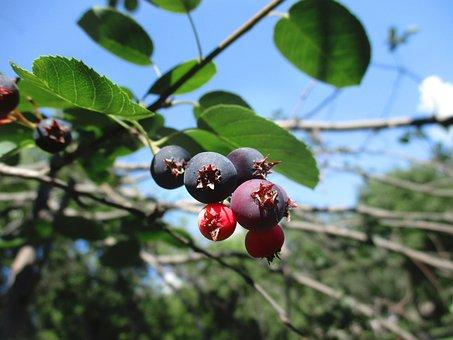 Berry, Saskatoon, Honeysuckle, Sweet, Caprifoliaceae