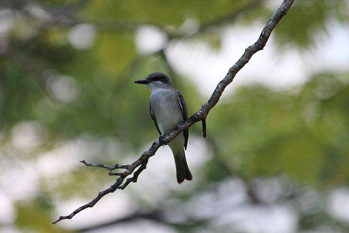 Mockingbird, Bird, Polyphonic Mockingbird