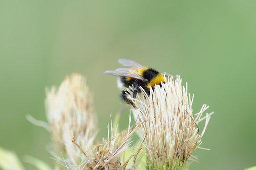 Hummel, Bumblebee, Insect, Nature, Blossom, Bloom