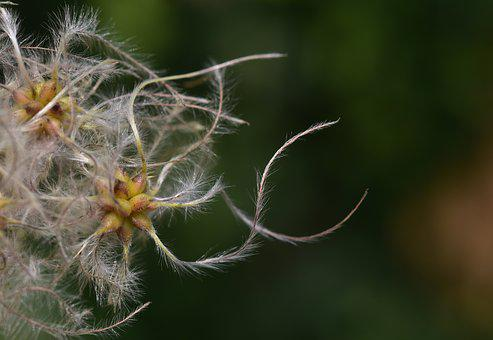 Clematis, Usually, Woolly, White, Seeds, Liane, Hairy