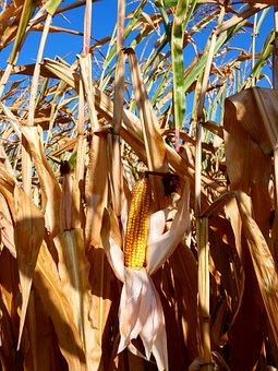 Corn, Harvest, Field, Corn On The Cob