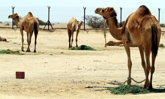 Camel, Desert, Qatar, Farm, Domestic, Domesticated