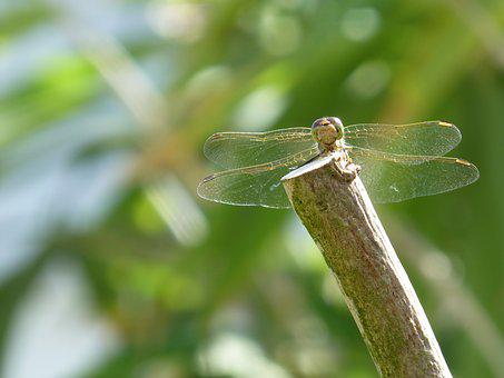 Dragonfly, Water Maid, Insect, Summer, Olive Tree
