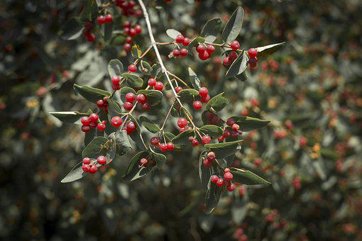 Viburnum, Wolf Berries, Bush, Berry, Fruit, Leaves, Red
