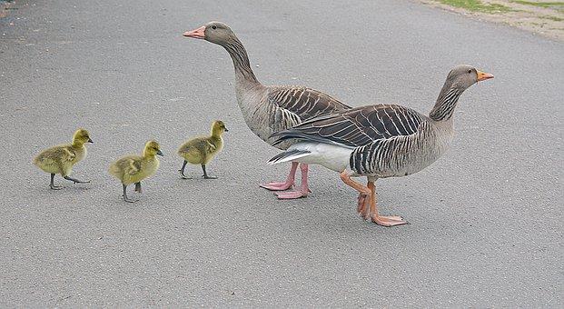 In Single File, Geese, Goslings