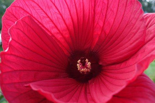 Perennials-hibiscus, Hibiscus Moscheutos Hybrid 'galaxy