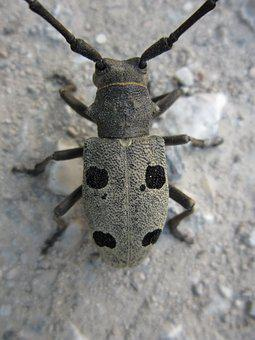 Beetle, Coleoptera, Morimus Funereus, Longhorn Beetle
