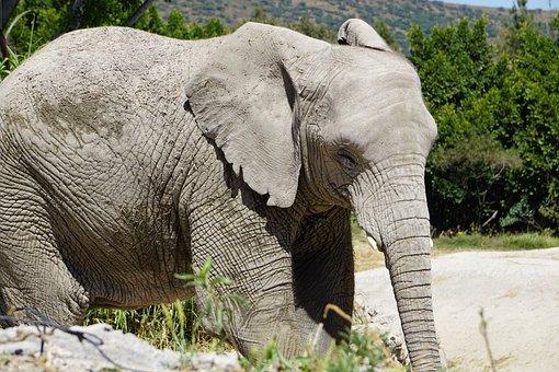 Elephant, Mammal, Animals, Mammals, Safari, Africa