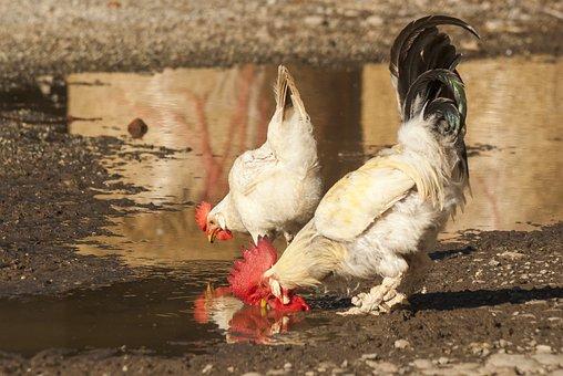 Farm, Gallo, Nature, Plumage, Cute, Spring, Animal