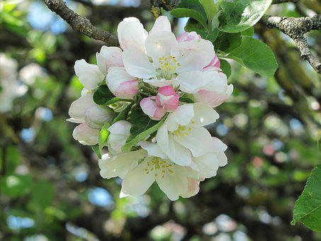 Blossom, Bloom, Apple, Fruit, Inflorescence, Nature