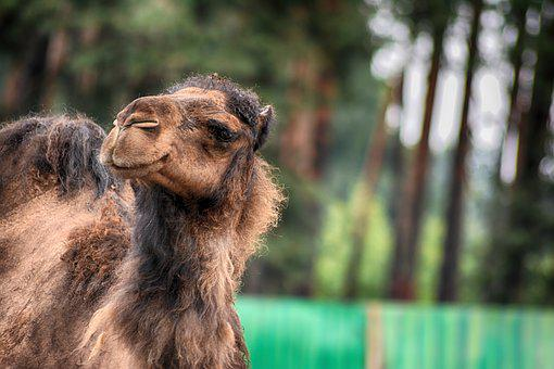 Camel, Dromedary, Animal, Mammal, Nature, Animal World