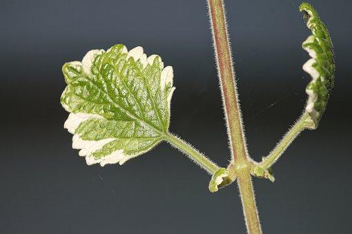 Incense Plant, Plectranthus Coleoides, Balcony Plant