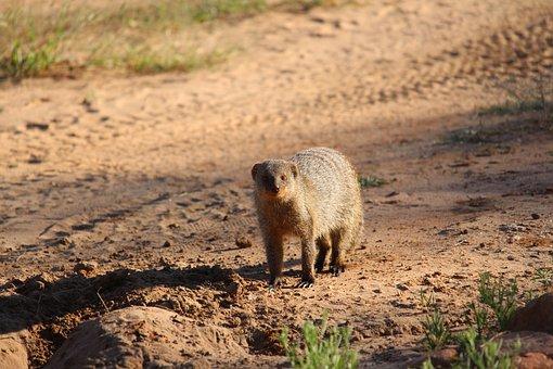 Africa, Namibia, Safari, Waterberg, Mongoose, Close Up