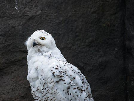 Snowy Owl, Owl, Animal, Nature, White, Bird, Zoo