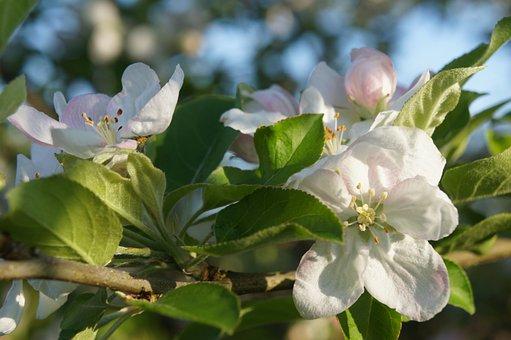 Spring, Fruit Tree Blossoming, Apple Blossom