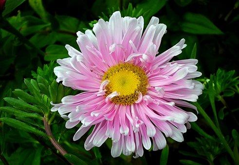 Flower, Aster, Pink, Garden, Nature, Summer, The Petals