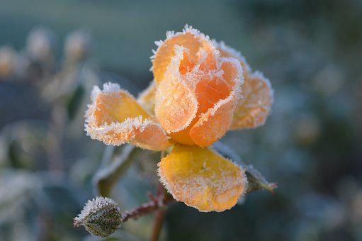 Rose, Blossom, Bloom, Hoarfrost, Frost, Salmon, Winter