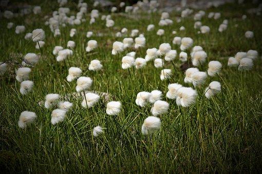 Flower, Alpine, Plant, Austria, Alpine Cotton-grass
