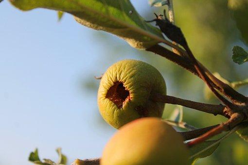 Apple, Fruit, Dry, Vertrcknet, Apple Tree, Nutrition