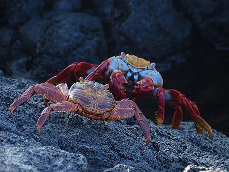 Sally Lightfoot Crab, Galapagos, Shellfish, Crustacean