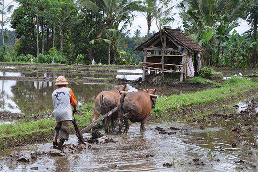 Plowing, Plow, Fields, Bali, Agriculture, Man, Villager
