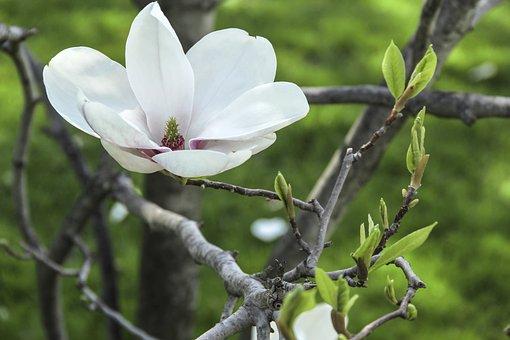 Magnolia, Flower, Tree, Growing, Summer, Greenery, Pink