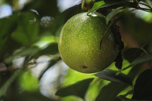 Passion Fruit, Fruit Hanging, Fruits, Nature, Leaf