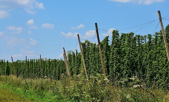 Hops, Beer, Growing Area, Bavaria, Hallertau, Holledau
