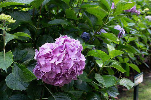 Hydrangea, Flower, Pink, Nature, Leaf, Green, Oviedo