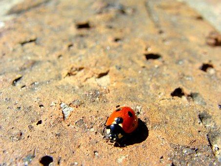 Lady Bug, Beetle, Ladybug, Insect, Bug, Nature