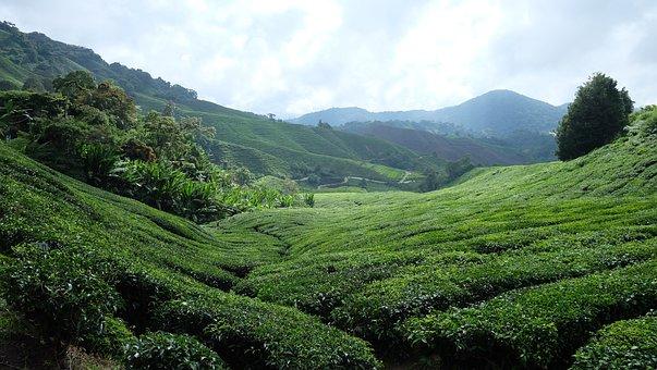 Tea Plantation, Cameron Highlands, Malaysia, Plantation