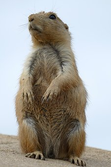 Prairie Dog, Cynomys, Ground Squirrel, Rodent, Mammal