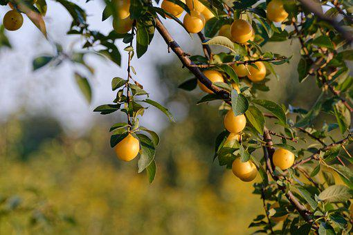 Mirabelka, Damson, Yellow, Tree, Plum, Garden, Fruiting
