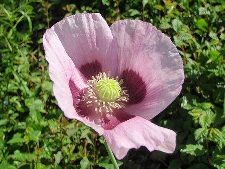 Opium Poppy, Blossom, Bloom, Mohngewaechs, Poppy Flower