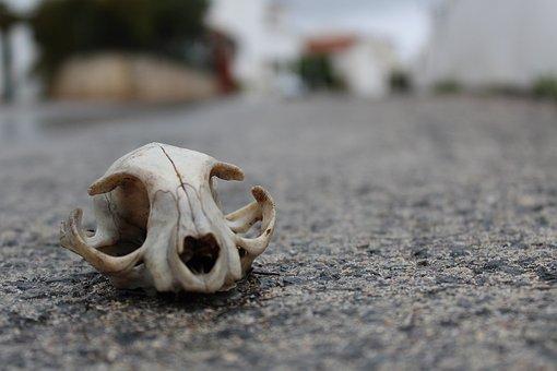 Nature, Animal, Skull, Cat
