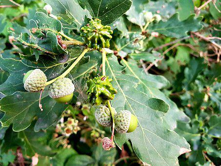 Acorn, Tree, Nature, Green, Leaves, Oak, Branch, Plant