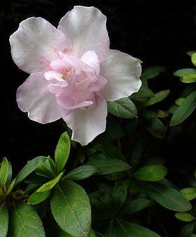 Azalea, Flower, Pale Pink, Garden, Plant, Nature