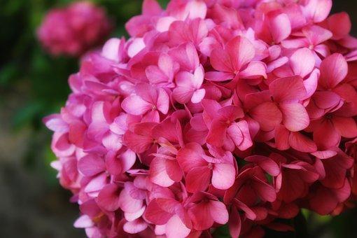 Hydrangea, Flower, Plant, Pink, Summer, Garden, Flowers