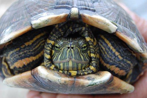Turtle, Fauna, Reptile, Nature, Animal, Hull, Botanist
