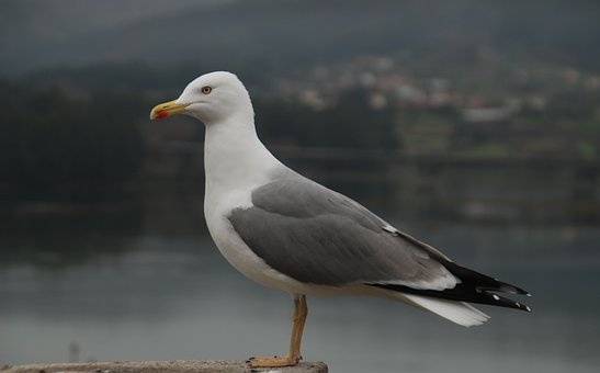 Pontedeume, Spain, Galicia, Nature, Seagull, Freedom