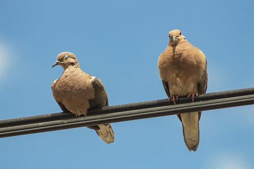Streptopelia Turtur, Turtledove, Taube, Colombe