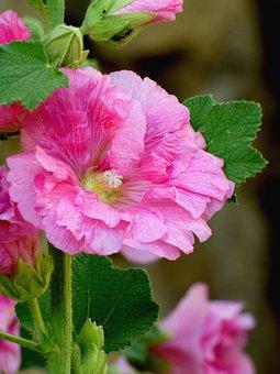 Pink, Trémière, Flower, Nature, Summer, Petals, Sky