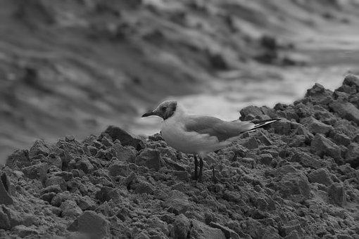 Animal, Bird, Nature, Water Bird, Sea, Seagull, Beach