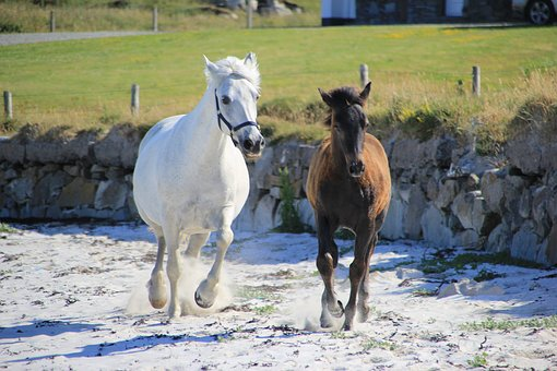 Pony, Beach, Horses, Horse, Animal, Equestrian, Foal