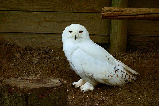 Owl, Civettadellenevi, Bird, Raptors, Animals, Nature