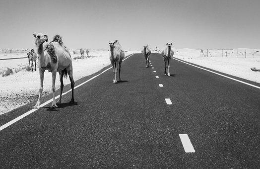 Camels, Camel, Desert, Dubai, Black And White, Animal