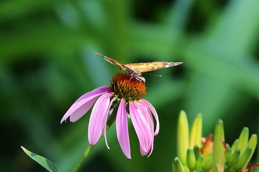 Butterfly And Purple Coneflower, Plant, Flowering