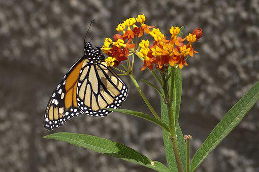 Monarch, Butterfly, Asclepias, Plant, Gran Canaria