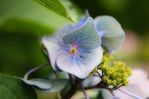 Hydrangea, Blossom, Bloom, Flower, Close Up, Beautiful